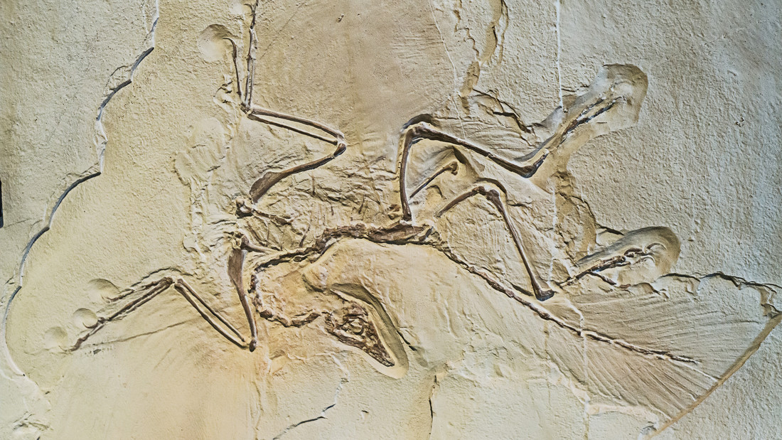 Archaeopteryx als Fossil.